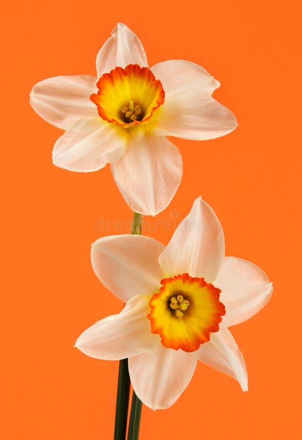 kwiat jonquil obrazy royalty free