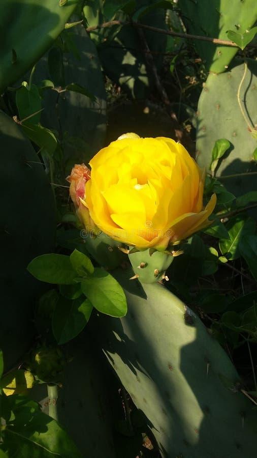 kwiat kaktusa z ogniska wybranych phpto up zdjęcie stock