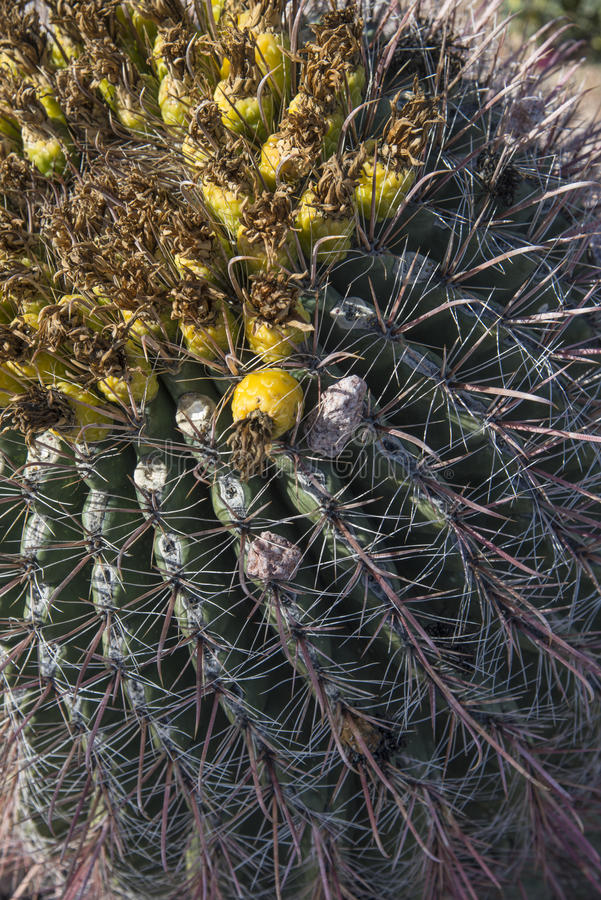 kwiat kaktusa z ogniska wybranych phpto up zdjęcie royalty free