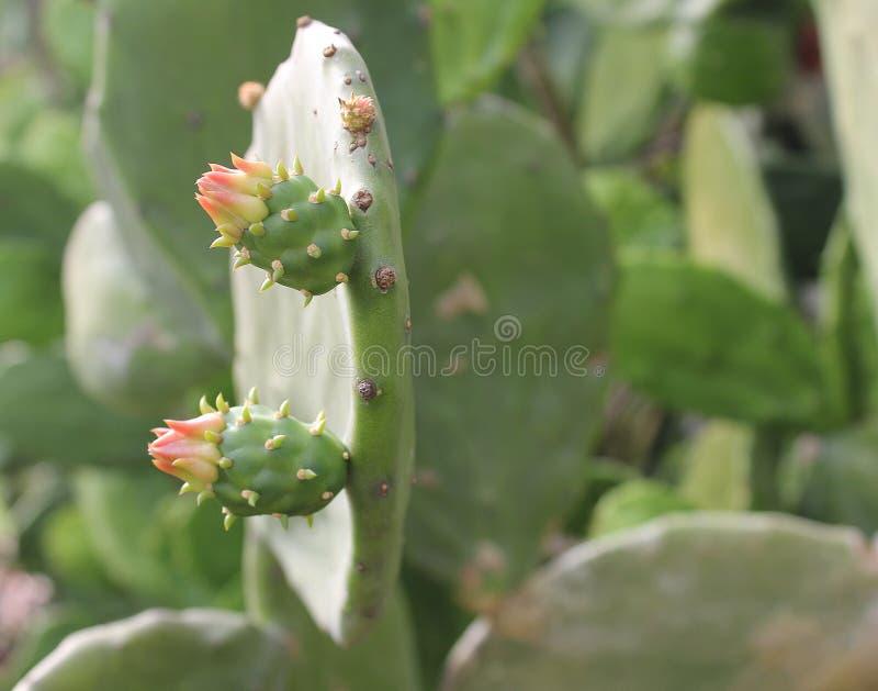 kwiat kaktusa z ogniska wybranych phpto up fotografia royalty free