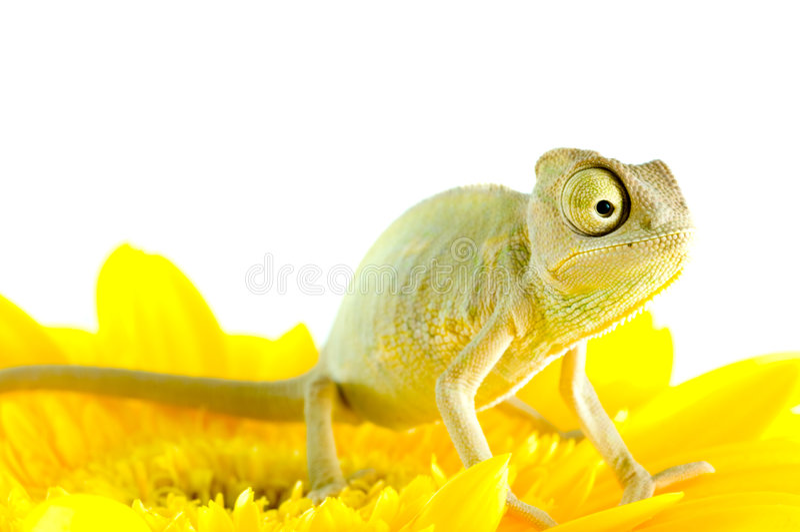 kwiat kameleona obraz royalty free