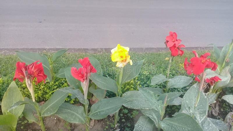 kwiat kanny lyli w Bali ogródzie botanicznym obraz royalty free