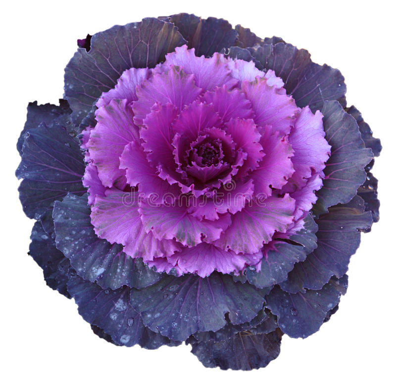 kwiat kapuściane purpury zdjęcia stock