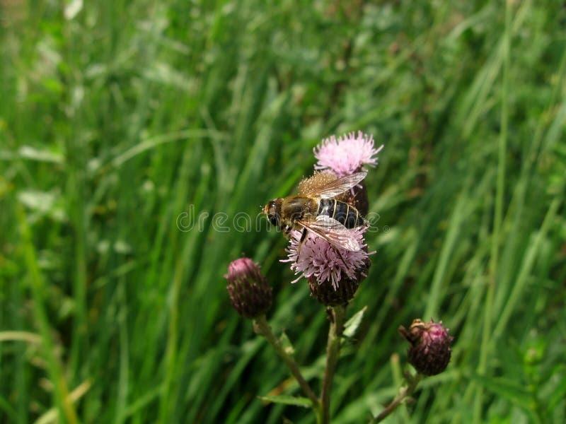 Download Kwiat komarnica obraz stock. Obraz złożonej z fauny, macro - 13341077
