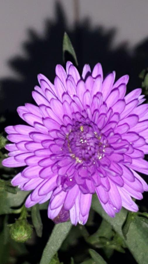 Kwiat Krisan obraz stock