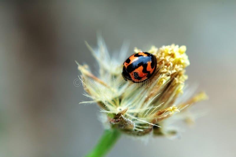 kwiat ladybird fotografia royalty free