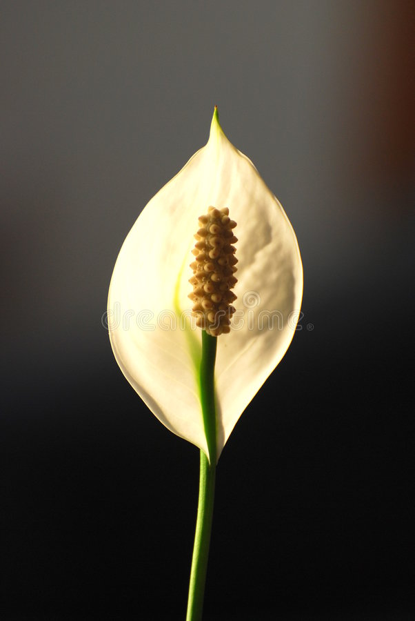 kwiat leluja obrazy royalty free