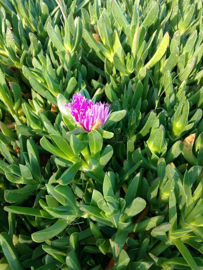 Kwiat lodowa roślina zdjęcie royalty free
