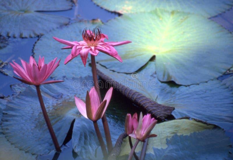 kwiat lotos obraz stock