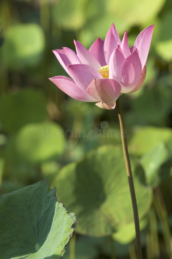 kwiat lotos obrazy royalty free