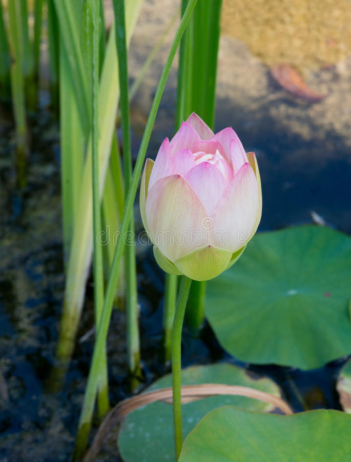 Download Kwiat lotos bloom obraz stock. Obraz złożonej z dosyć - 57664697