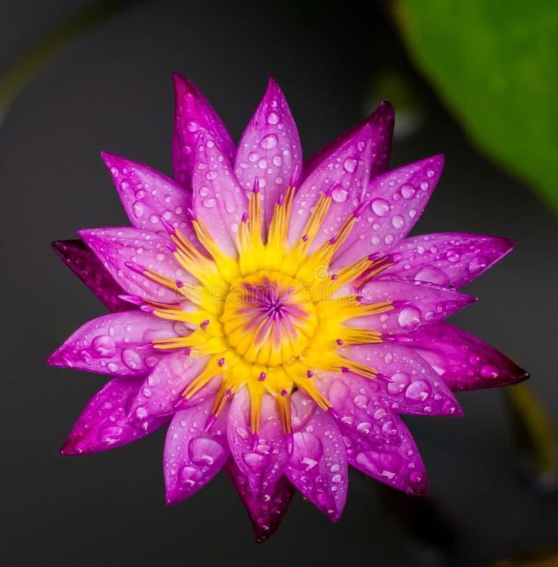 Kwiat, lotos, tło, menchia obraz stock