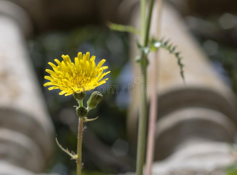 Kwiat lub jastrząb daniliowy rosnący w ogrodzie zdjęcia royalty free