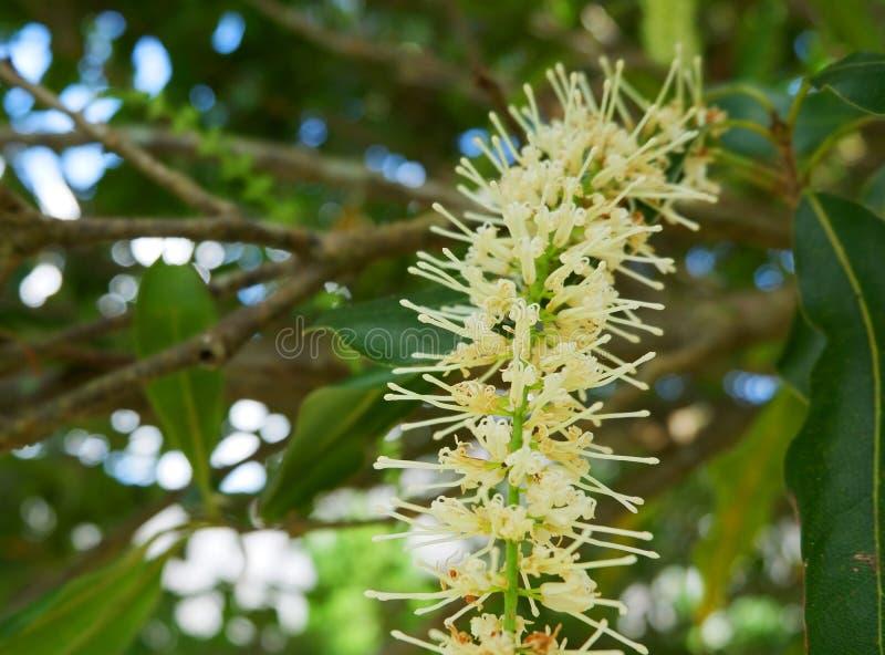 Kwiat Macadamia dokrętki obrazy stock
