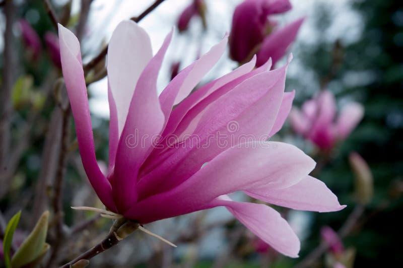 kwiat magnolia zdjęcie royalty free