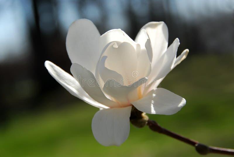 kwiat magnolia fotografia stock