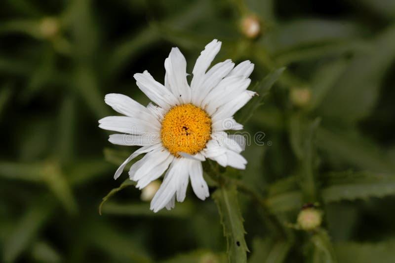 Kwiat max chryzantema, Leucanthemum maksimum zdjęcie stock