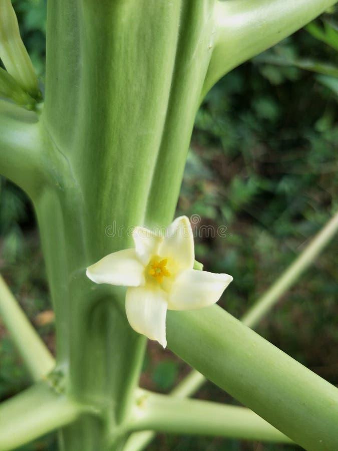 kwiat melonowiec obraz stock