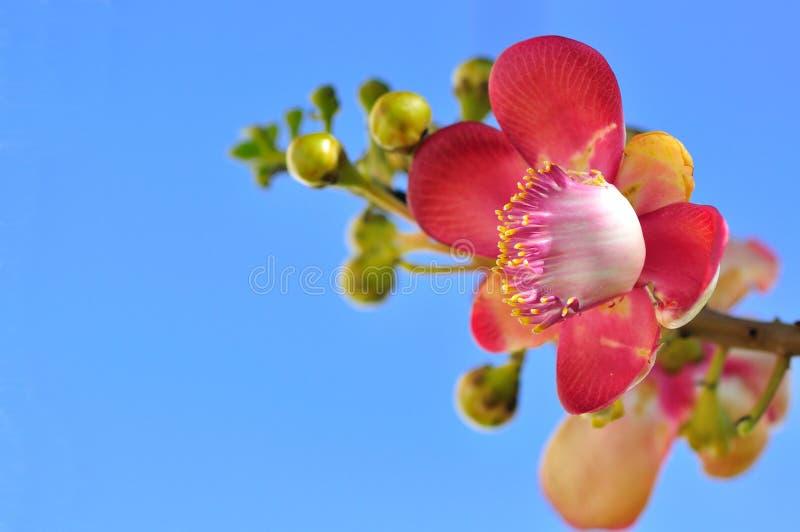 kwiat menchie obraz royalty free
