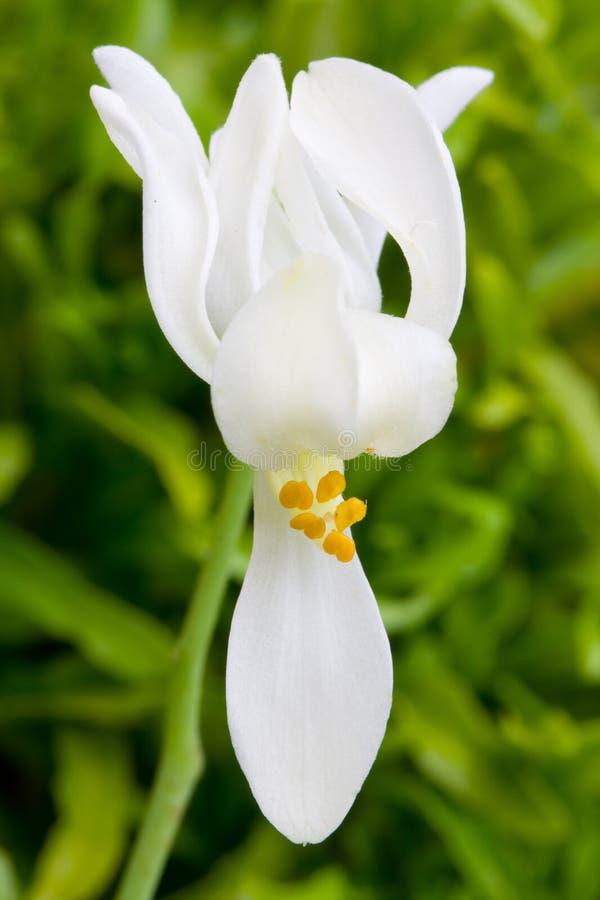 Kwiat Moringa zdjęcie stock