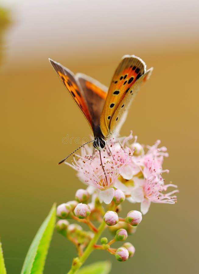 kwiat motyla fotografia royalty free