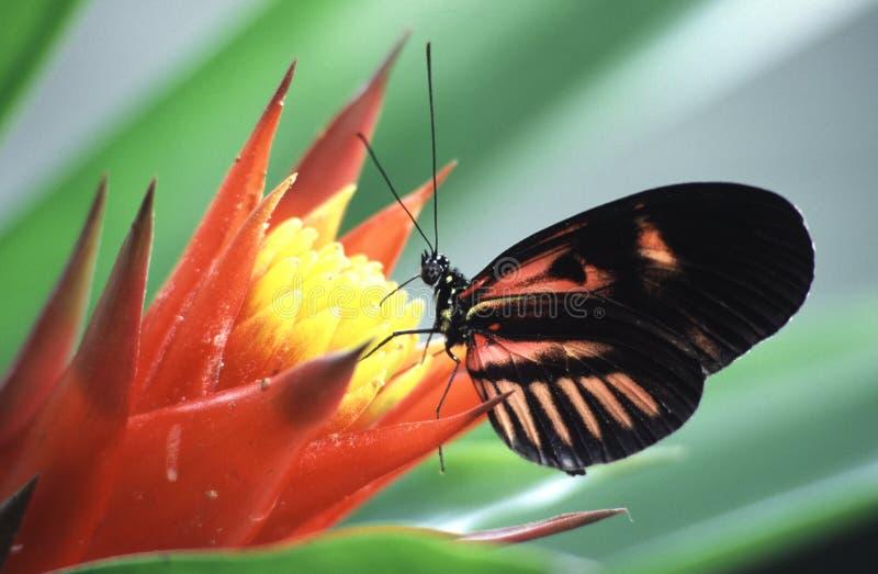 kwiat motyla obrazy stock