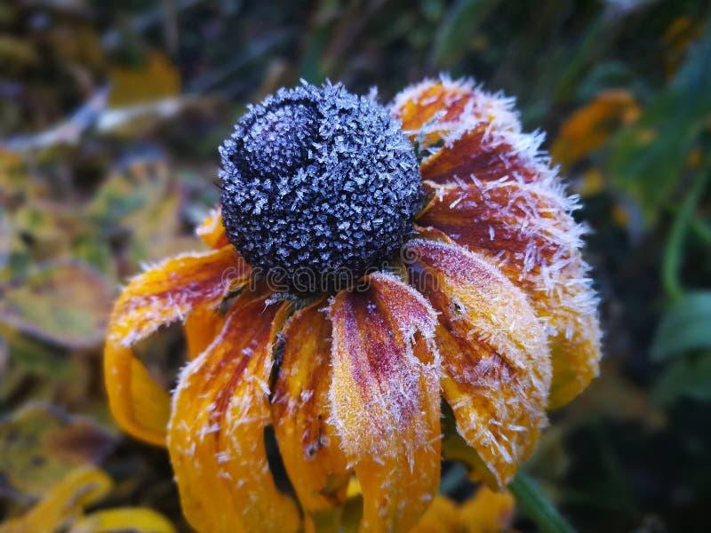 kwiat mrożone obrazy stock