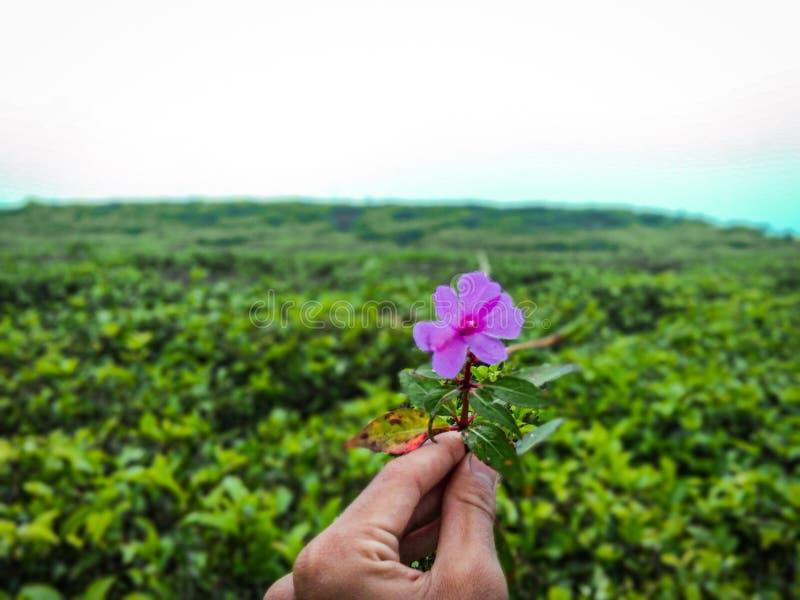 Kwiat na herbacie obraz royalty free