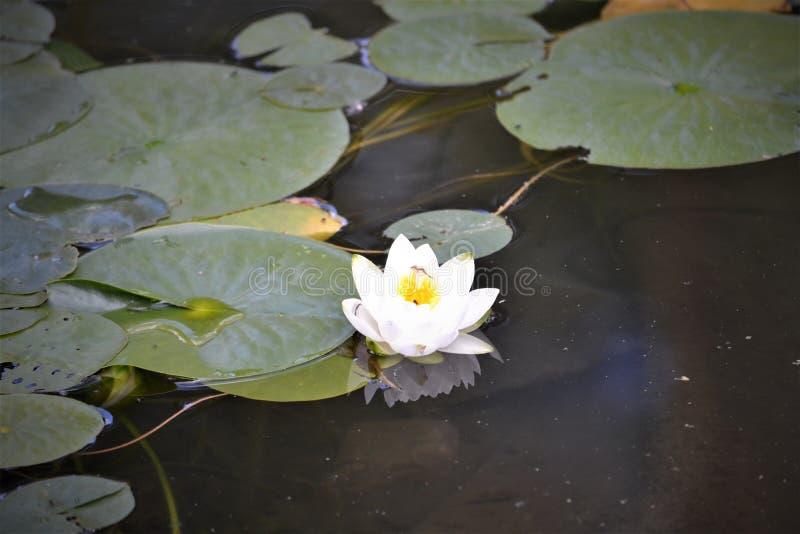 Kwiat na Lilly ochraniaczu zdjęcia stock
