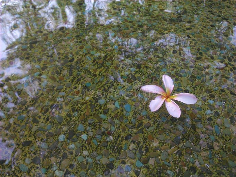 Kwiat Na stawie zdjęcia royalty free