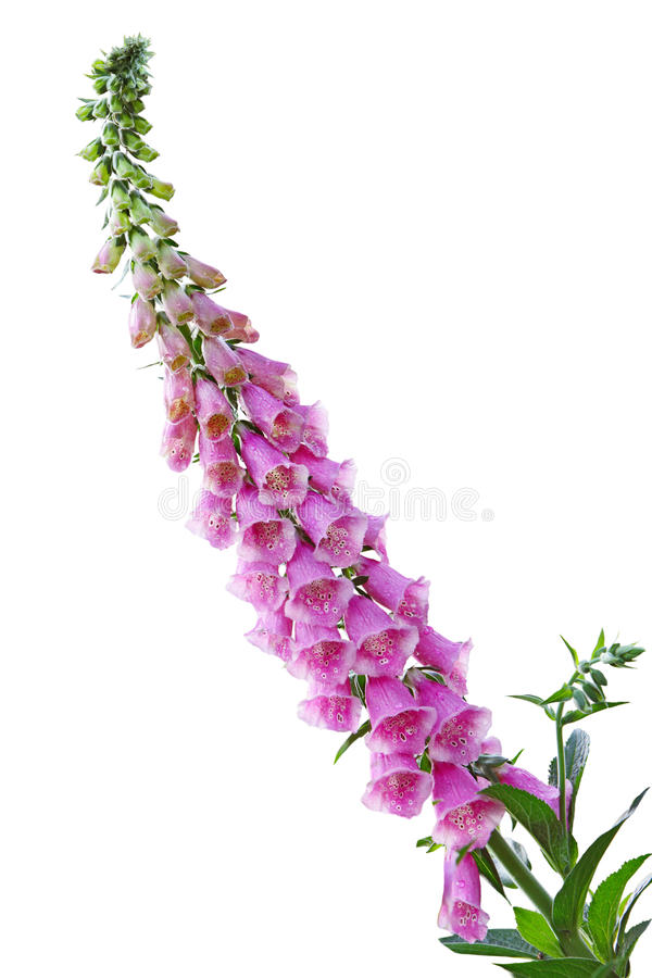kwiat naparstnica zdjęcia stock