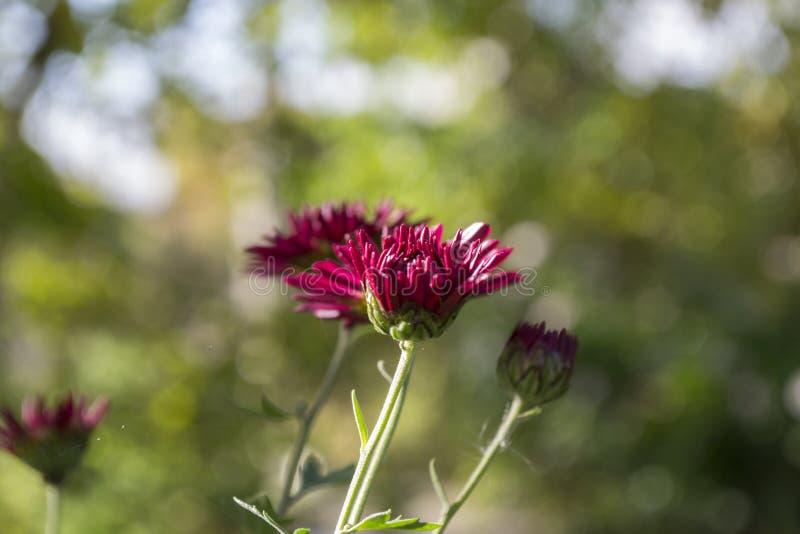 Kwiat natury bokeh makro- zielona chryzantema obraz stock