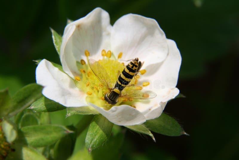 Kwiat, nektar, pszczoła miodna, Rosa Canina zdjęcie stock