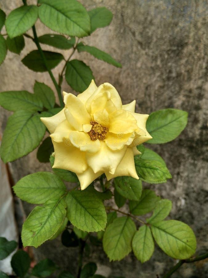 Kwiat od floribunda Różanej rodziny obrazy royalty free