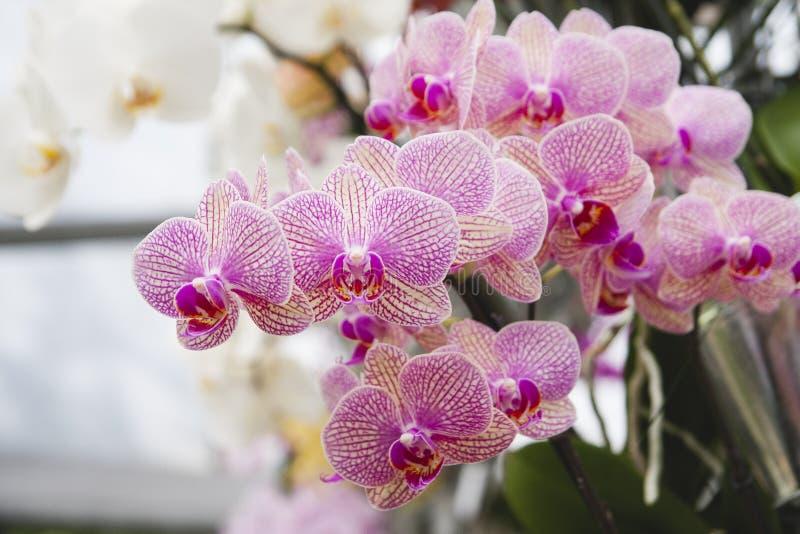 Kwiat od Keukenhof fotografia stock