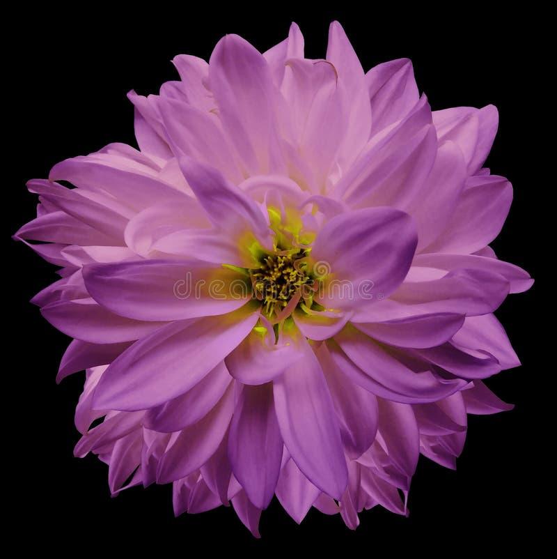 kwiat odizolowane menchii dalia na czarnym tle Kwiat dla projekta zbliżenie zdjęcia royalty free