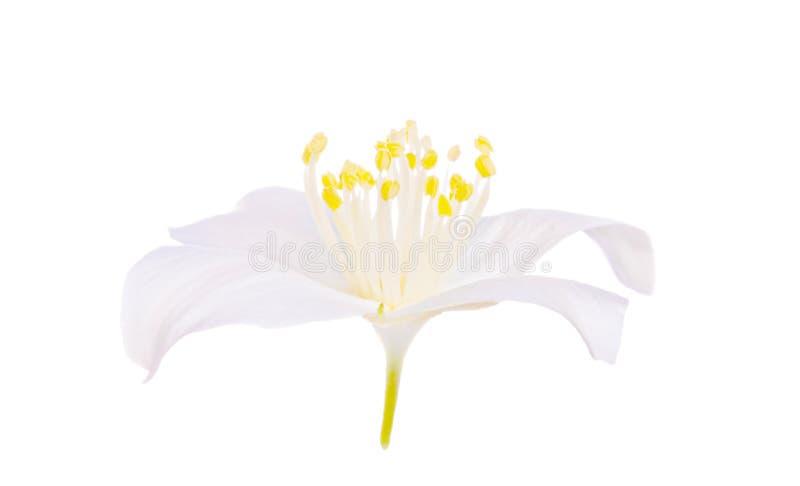 kwiat odizolowywał jasmin pojedynczego zdjęcie stock