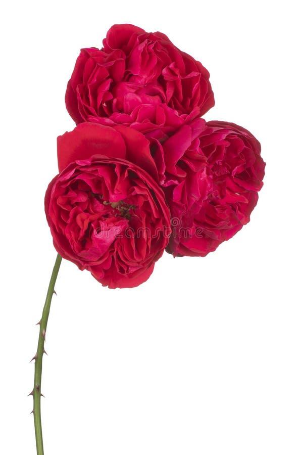 kwiat odizolowywa? r??anego zdjęcia stock