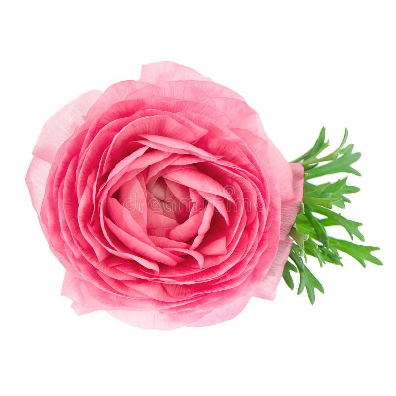 kwiat odizolowywający różowego ranunculus pojedynczy biel fotografia royalty free