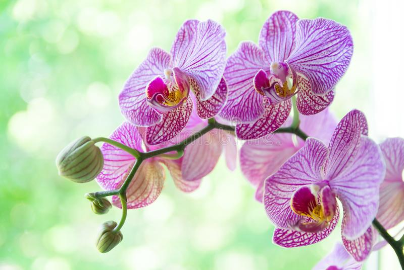 Kwiat orchidei w tropikalnym ogrodzie Purpur Phalaenopsis rosnący na zielonym tle zdjęcie royalty free