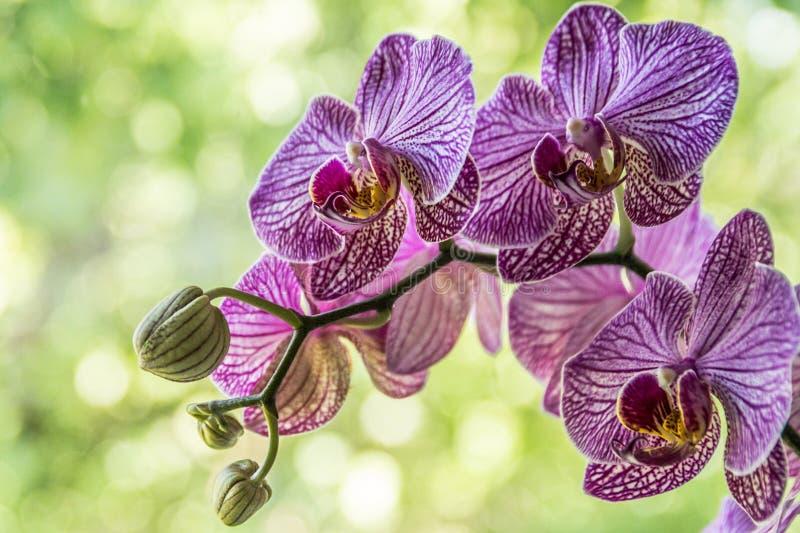 Kwiat orchidei w tropikalnym ogrodzie Purpur Phalaenopsis rosnący na zielonym tle zdjęcia stock