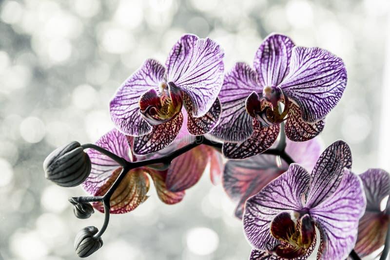 Kwiat orchidei w tropikalnym ogrodzie Purpur Phalaenopsis rosnący na zielonym tle obrazy royalty free
