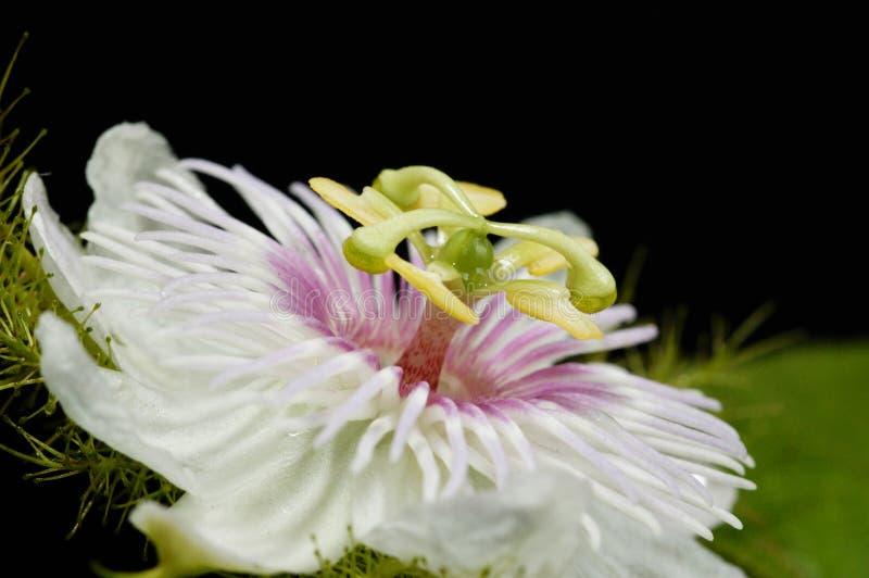 kwiat owoców pasji fotografia stock