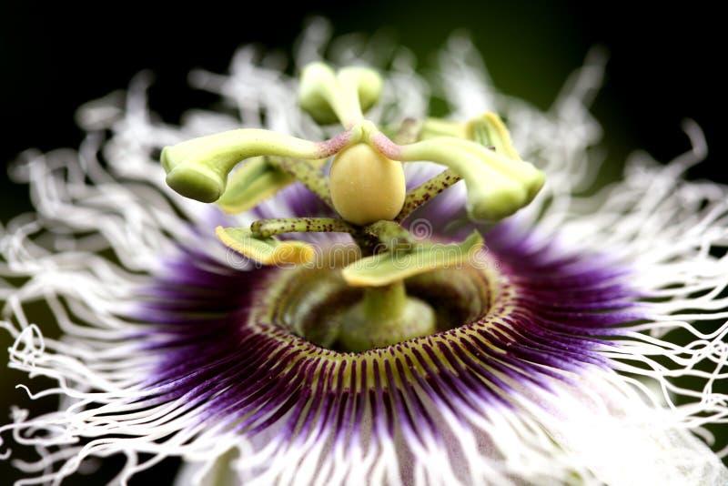 kwiat owoców pasji zdjęcie royalty free
