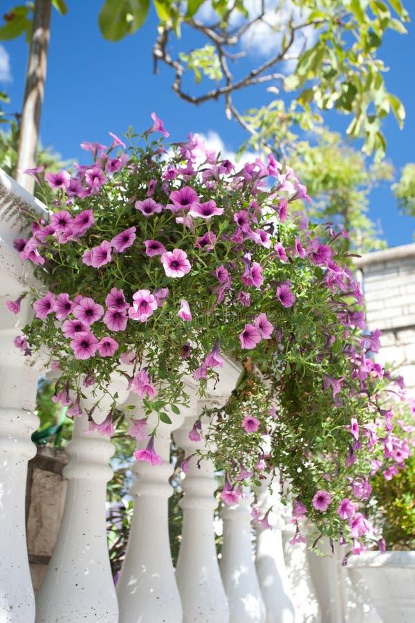 kwiat płotowe menchie obrazy royalty free