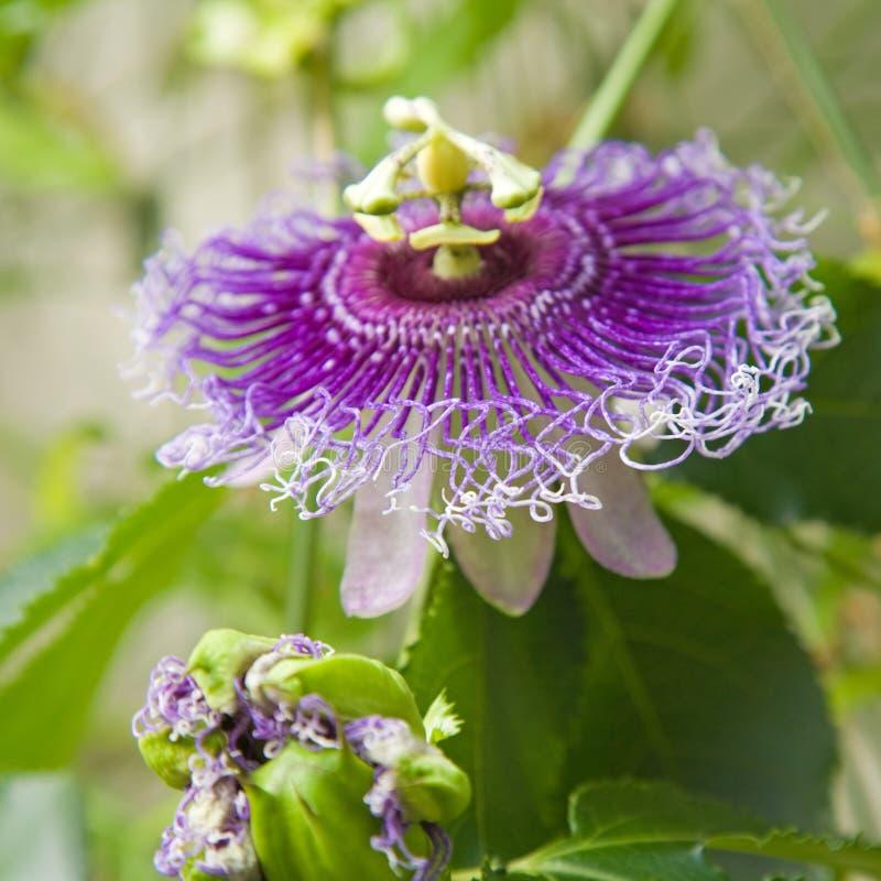 kwiat pasja obrazy stock