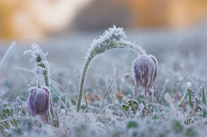 kwiat pasque wspólnego pulsatilla vulgaris obraz royalty free
