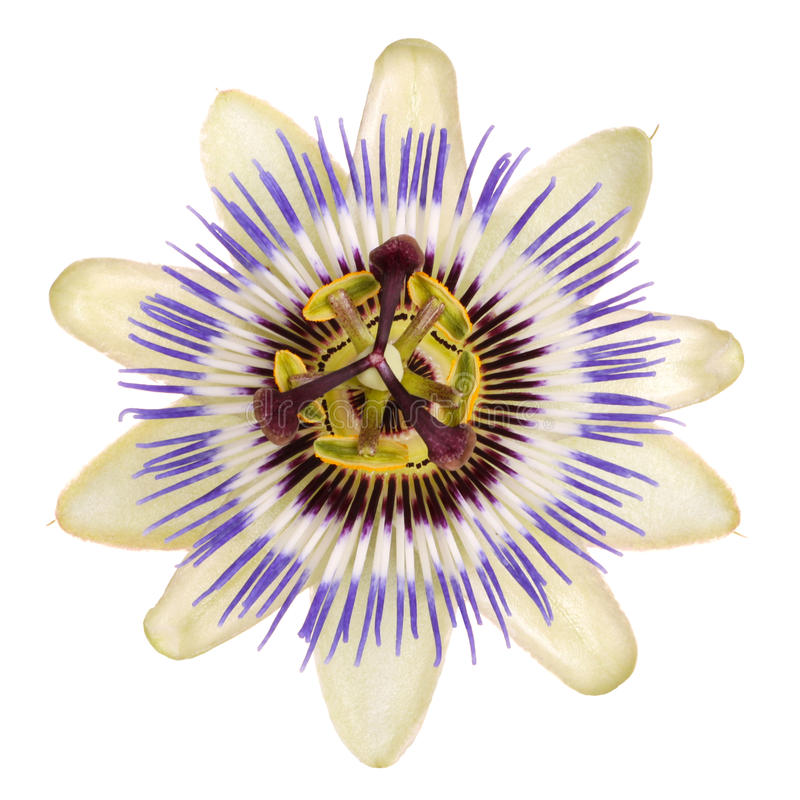 kwiat passionflower obrazy royalty free