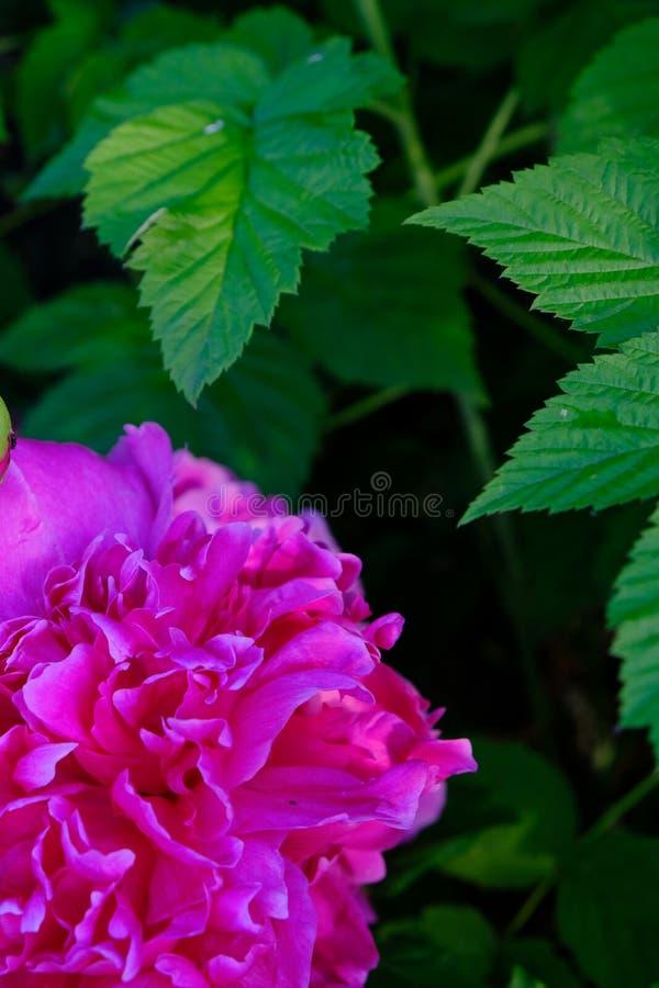 Kwiat peoni jaskrawe menchie obraz stock
