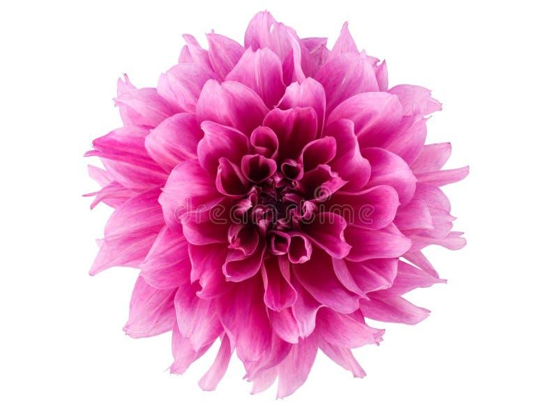 kwiat peonia zdjęcia royalty free